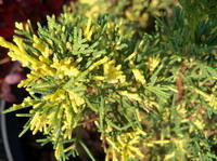 Plumosa Aureovariegata (Плюмоза Ауреовариегата)